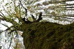 Berkboomstam met groen mos wordt behandeld dat stock afbeelding