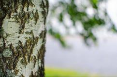 Berkboomstam op de achtergrond van de rivier stock foto's