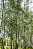 Berkboomstammen in het park royalty-vrije stock fotografie