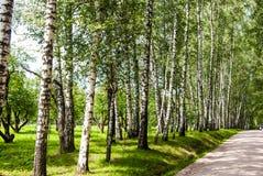 Berkboomstammen in het park royalty-vrije stock afbeelding