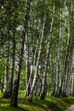Berkboomstammen in het park stock afbeelding