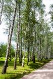 Berkboomstammen in het park stock foto's
