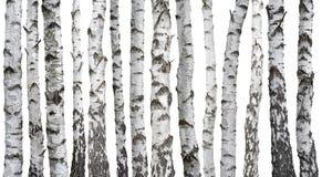 Berkboomstammen op wit worden geïsoleerd dat