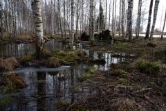 Berkbos bij de lente royalty-vrije stock afbeelding
