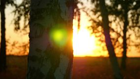 Berkbos bij zonsondergang op een de herfstavond stock videobeelden