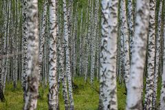Berkbos in centraal Rusland stock foto