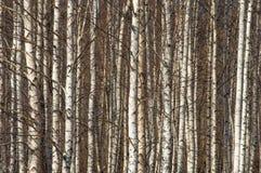 Berkbos in de vroege lente Vroeg de lentebos Royalty-vrije Stock Afbeeldingen