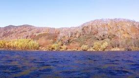 Berkbos op meerkust in Kamchatka stock video