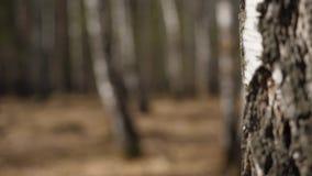 Berkbos in zonlicht in de ochtend Het bosje van de berk in de herfst stock video