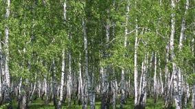 Berkbosje in de lente stock videobeelden