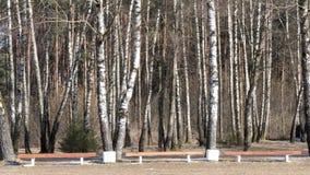 Berkbosje in de vroege lente bank door de bomen stock videobeelden