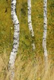 Berkbosje met gras in de voorgrond Stock Foto's