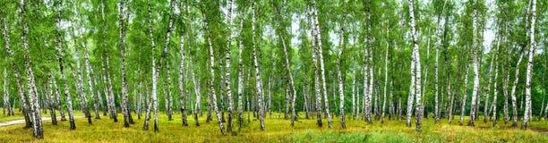 Berkbosje op een zonnige de zomerdag, landschapsbanner royalty-vrije stock foto