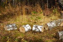 Berkbrandhout of Blokken die op Droog Gras in Autumn Forest liggen stock fotografie