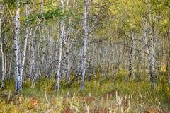 Berkehout stock afbeeldingen