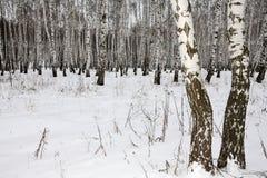 Berkehout in de winter Rusland Stock Foto's