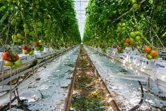 Tomatoes growing in a big greenhouse in the Netherlands. Berkel en Rodenrijs, Netherlands – April 2, 2017: tomatoes growing in a big greenhouse in the Royalty Free Stock Image