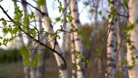 Berken bij zonsondergang in de lente stock videobeelden
