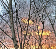 Berken bij zonsondergangachtergrond Stock Foto's