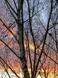 Berken bij zonsondergangachtergrond Stock Afbeeldingen