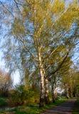 Berken in de avond zon in de lente royalty-vrije stock afbeelding