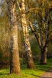 Berken in de avond zon in de lente royalty-vrije stock afbeeldingen