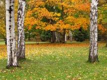 Berken in de herfst Stock Fotografie