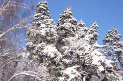 Berken en pijnboombomen in het bos na een sneeuwval in de winter Stock Foto