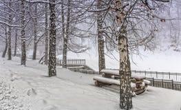 Berken en sneeuw Stock Foto