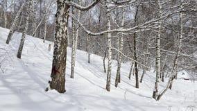 Berken en sneeuw Royalty-vrije Stock Fotografie