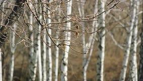 Berken in het hout stock footage