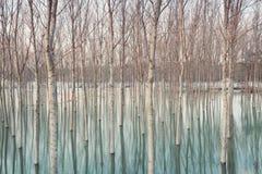 Berken in overstroomd platteland stock foto