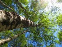 Berkenbos; Floresta do vidoeiro no pico velho, Hebei, China foto de stock royalty free