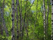 Berkenbos; Foresta della betulla al vecchio picco, Hebei, Cina immagini stock libere da diritti