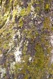 berkeschors die met groen mos wordt behandeld stock foto's