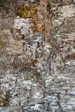 Berkeschors voor achtergrond, birchbark, details van birchbark stock afbeelding