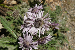 Berkheya purpurea, Purple Berkheya Stock Image