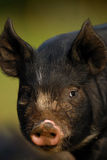 Berkshire Black Piglet Stock Image