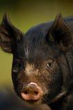Berkshire Black Piglet. Head shot of a Berskshire Black Piglet Stock Image