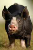Berkshire Black Piglet stock photos