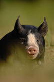 Berkshire Black Piglet Royalty Free Stock Image