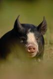 Berkshire Black Piglet. Berskshire Black Piglet in resting Royalty Free Stock Image