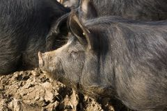 Berkshire Black Pigs Stock Photography