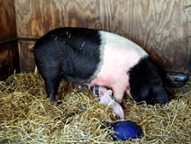 Berkshire Pig And Piglets Royalty Free Stock Images