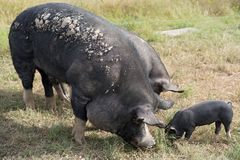 Berkshire Pig On An Organic Pig Farm. Pastured grass fed pig for local food production on an organic farm using rotational grazing to repair the soil and provide Royalty Free Stock Photos