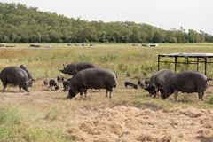 Berkshire Pig On An Organic Pig Farm. Pastured grass fed pig for local food production on an organic farm using rotational grazing to repair the soil and provide Royalty Free Stock Image