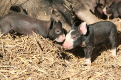 Berkshire Piglets Stock Images