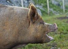 Berkshire-Schwein Lizenzfreie Stockfotografie