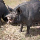 Berkshire svin på en organisk svinfarm arkivfoto