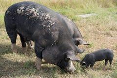 Berkshire svin på en organisk svinfarm royaltyfria foton
